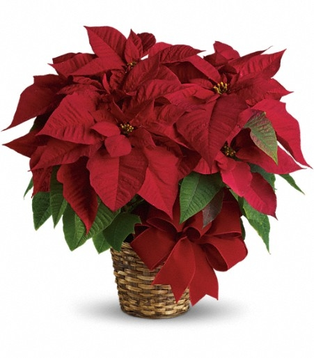 or red poinsettia - photo #44